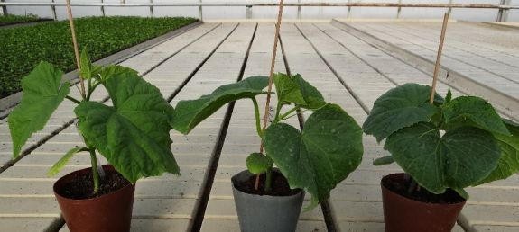 Cucumber 'Mandy' F1 transplants