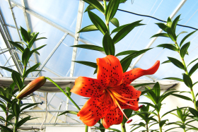 Dr. Antra Balode about HORTILED for lilies